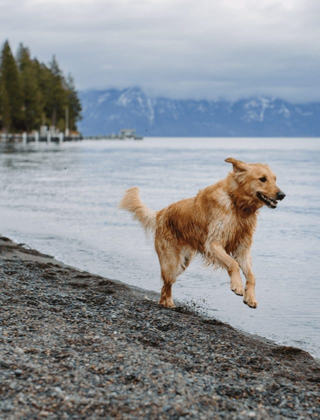 Happy Dog at Lake Tahoe